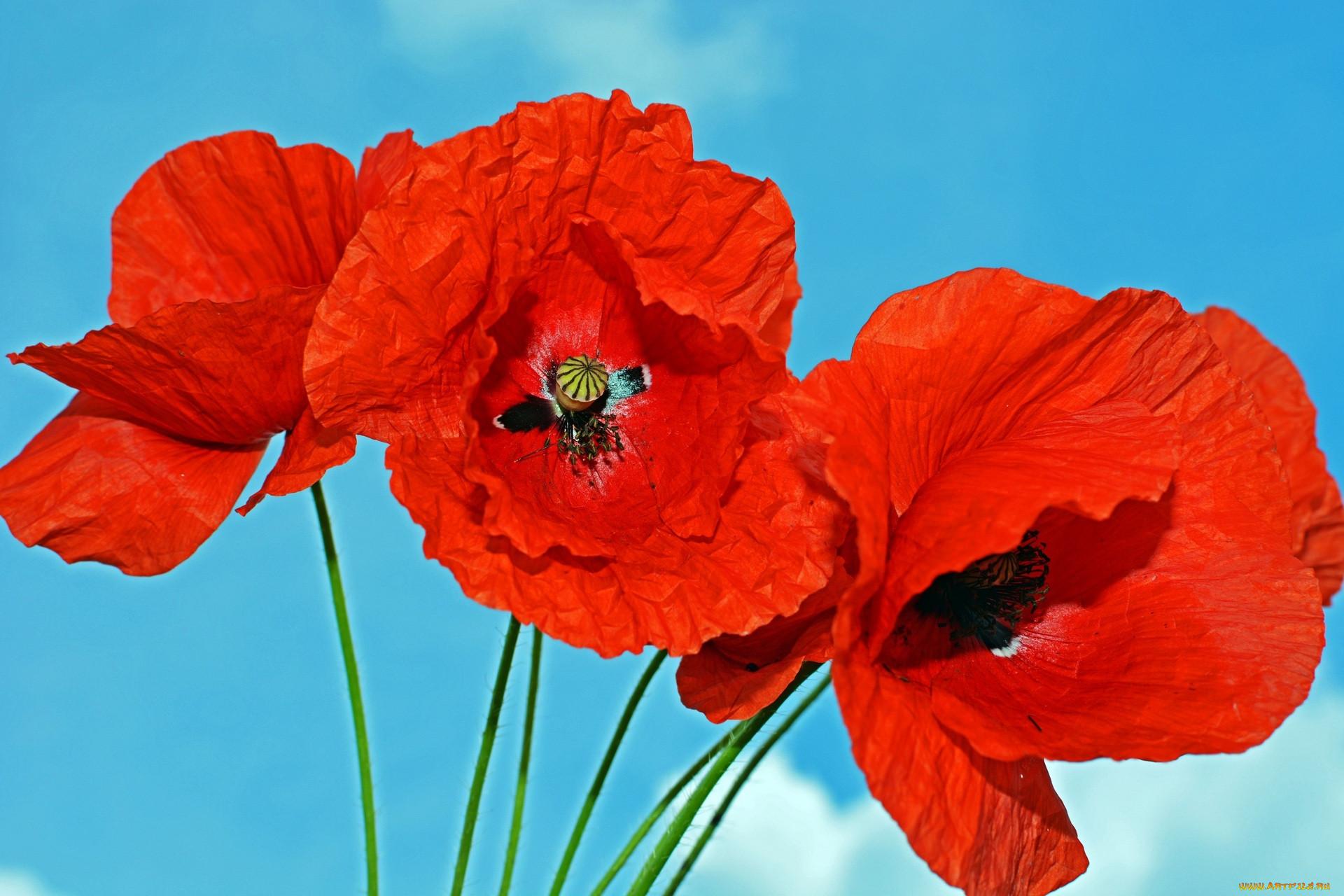 было красные маки цветы фото народный